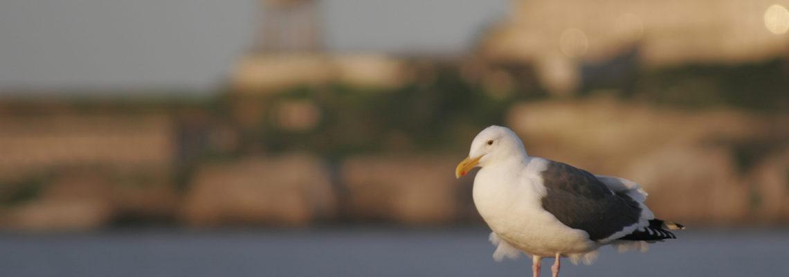 The Seagull of Alcatraz