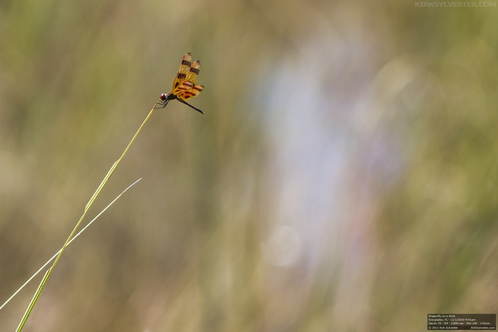 Dragonfly on a Stick (Photo by Kirk Sylvester)