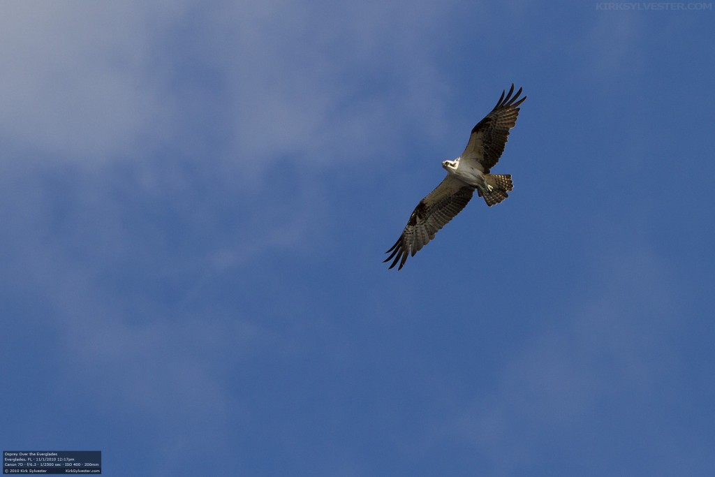 Osprey Over the Everglades (Photo by Kirk Sylvester)
