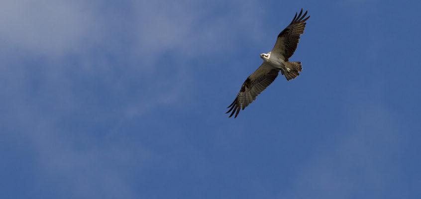 Osprey Over the Everglades