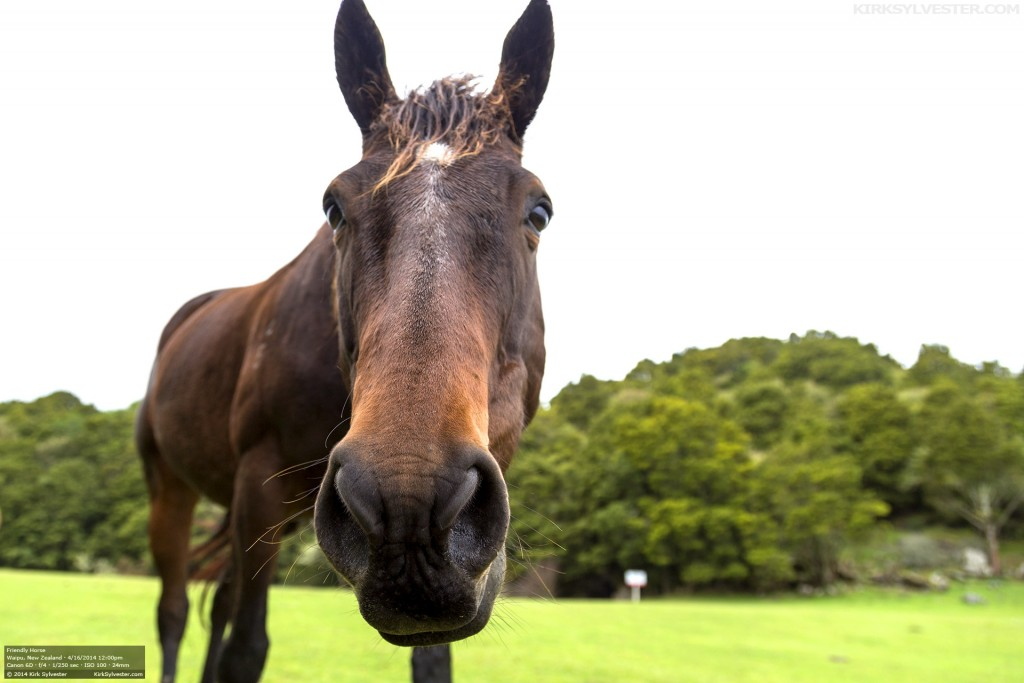 Friendly New Zealand Horse (Photo by Kirk Sylvester)