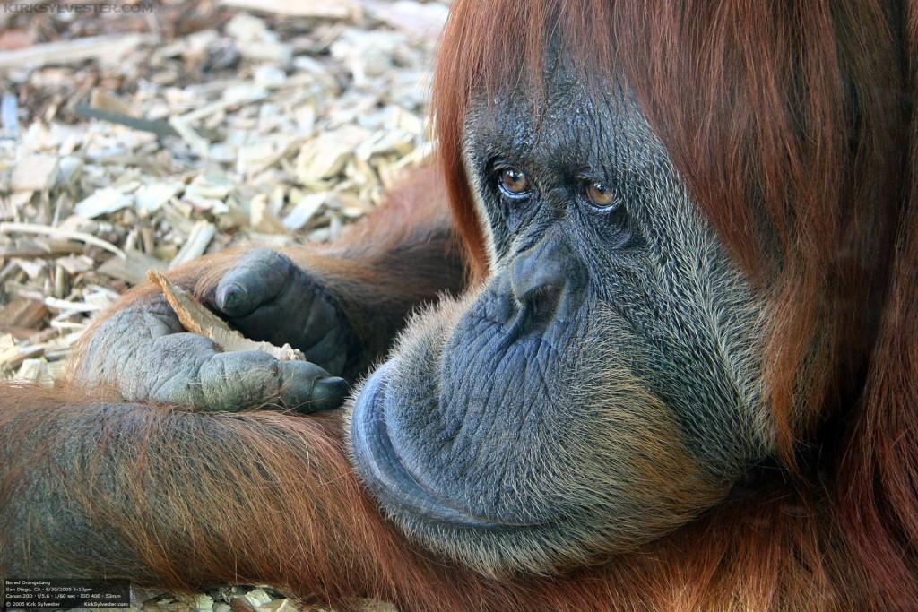 Bored Orangutan (Photo by Kirk Sylvester)