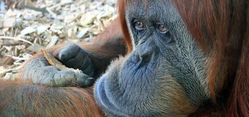 Bored Orangutan